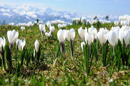 Crocus, Spring, Switzerland