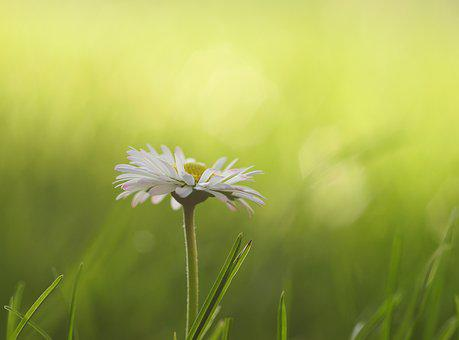 Daisy, Meadow, Flowers, Spring, Flower Meadow, White