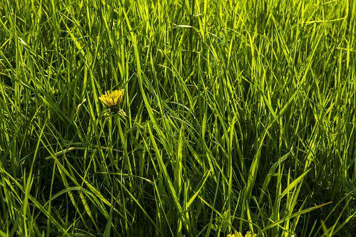 Dandelion, Grass, Meadow, Nature, Green, Spring
