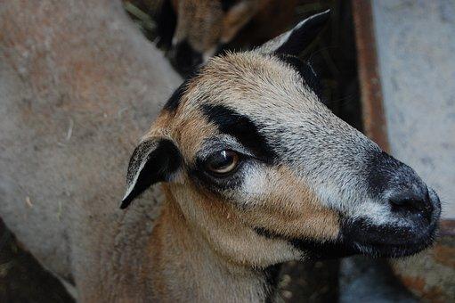 Goat, Brown, Head, Animal, Domestic Goat, Horns