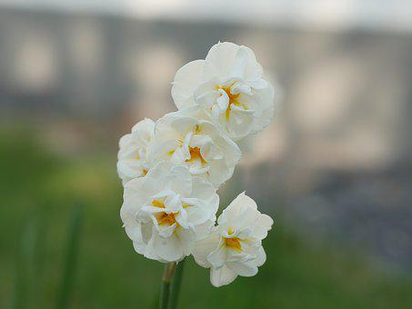 Double Flower, Daffodil, Narcissus, Yellow, White