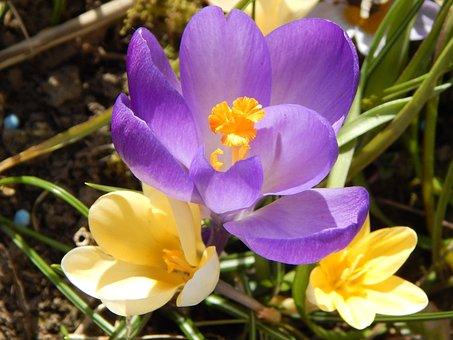 Crocus, Spring, Spring Flower, Early Bloomer