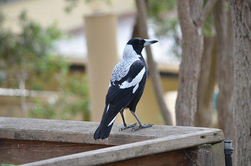 Magpie, Bird, Black And White, Nature, Animal, Feather