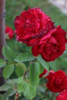 Rose, Spring, Flower, Blossom, Bloom, Nature, Macro