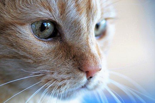 Cat, Head, Tomcat, Domestic Cat, Pet, Animal, Eyes