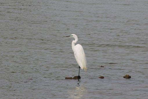 Animal, River, Heron, Egret, Waterfowl, Wild Birds