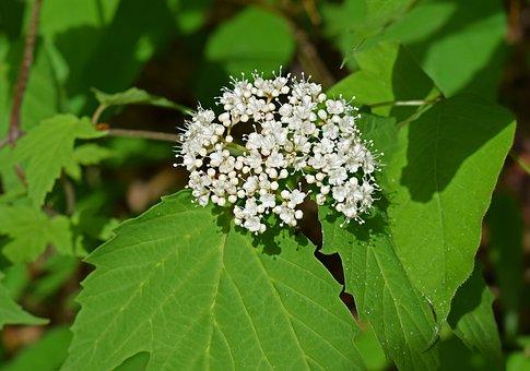 Highland Cranberry, Flower, Blossom, Bloom, Plant