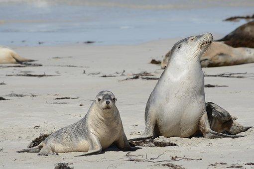 Seals, In, Kangaroo, Island, Wildlife
