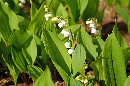 Lily Of The Valley, Flowers, Convallaria Majalis, Bloom