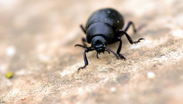 Beetle, Black, Insect, Animal, Nature, Close, Macro