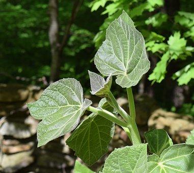 New Paulownia Leaves, Princess Tree, Paulownia, Foliage