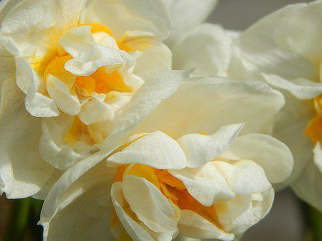Daffodil Filled, White Daffodil, Spring, Osterglocken
