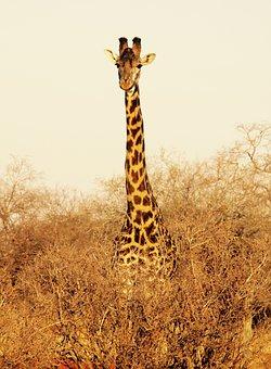 Giraffe, Kenya, Tsavo West National Park