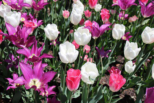 Tulips, Flower, Fresh, Floral, Nature, Spring