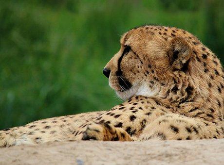 Cheetah, Cat, Animal, Wildlife, Nature, Wild, Predator