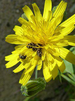 Flower, Dandelion, Beetles Zig Zag, Yellow Flower