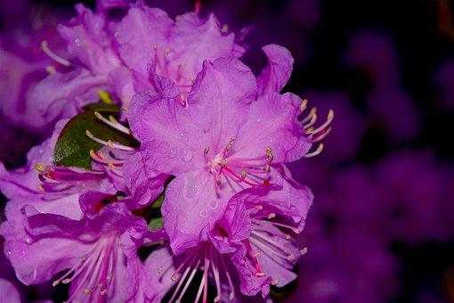Flower, Azalea, Bloom, Pink, Nature, Blossom, Plant