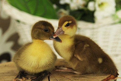 Ducklings, Duck, Chicks, Birds, Poultry, Farm, Beak