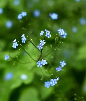 Forget Me Not, Flower, Green, Close, Pointed Flower