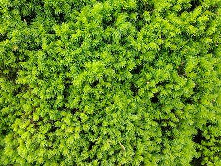 Needles, Conifer, Close Up, Plant, Nature, Frisch