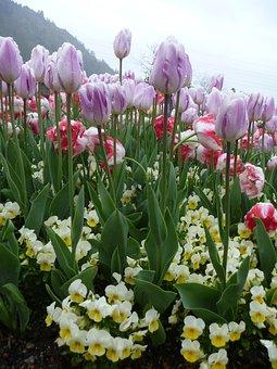 Tulip, Flower, Spring, Violet, White, Garden