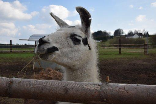 Lama, Animal, Nature, Vicuna