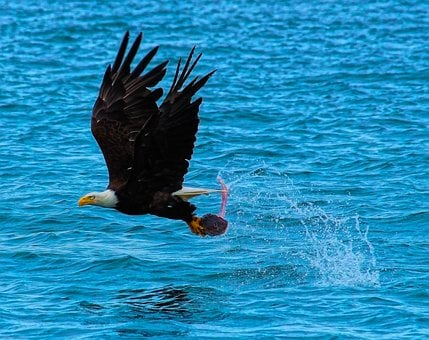 Catch Of The Day, Bald Eagle, Hunting, Fishing, Nature