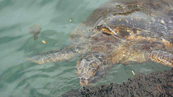 Turtle, Sea, Ocean, Hawaii, Sea Turtle, Water, Animal