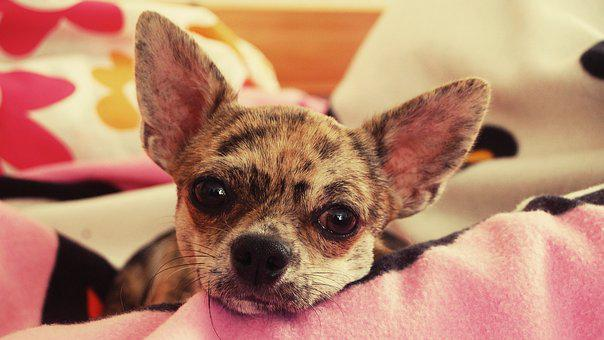 Dreamer, Chihuahua, Merle, Young Dog, Portrait