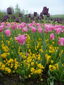 Tulip, Flower, Spring, Purple, Pink, Yellow, Colors