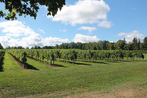 Vineyard, Grapes, Vine, Agriculture, Winery, Grapevine