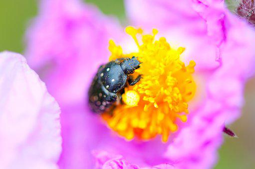 Bug, Black, Insect, Flower, Pink, Pinky, Animal, Beetle