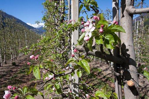 Apple Blossom, Plantation, Trellis, Bloom, Flowers