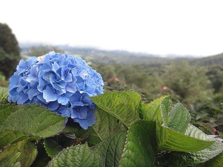 Hydrangea, Flower, Blue, Tiefenschärfe, Blossom, Bloom