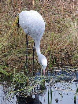 Crane, Bird, Pond, Sanctuary