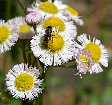 Fleabane And Bee, Honey Bee, Pollen-laden, Fleabane