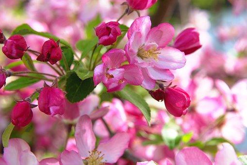Spring, Flowers, Apple, Apple Tree, Full Bloom, Red