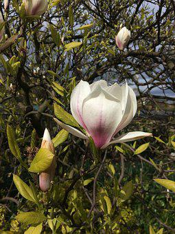 Magnolia, Tree, Flower, Nature, Garden, Spring