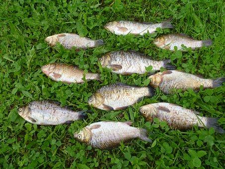 Fish, Catch, Grass, Fishing, Fishermen, Perch, Carp