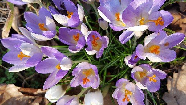 Crocus, Spring, Flower, Bloom, March, Petal