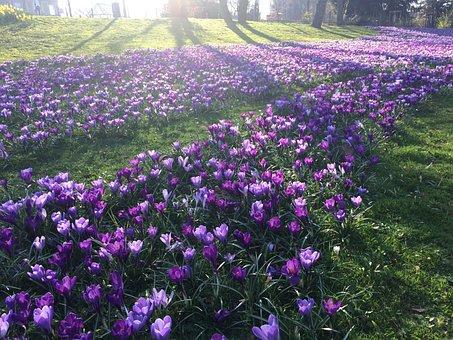 Spring, Crocus, Purple, Park, Spring Awakening, Flower