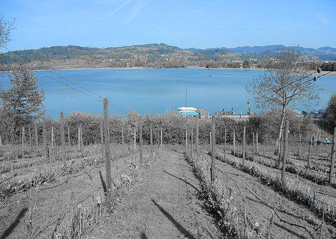 Vineyard, Wine, Lake, Grapevine, Landscape, Nature