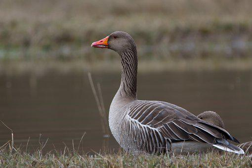 Greylag Goose, Wild Goose, Water Bird, Poultry