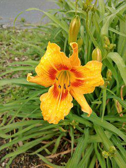 Lily, Yellow, Orange, Flower, Nature, Green, Blossom