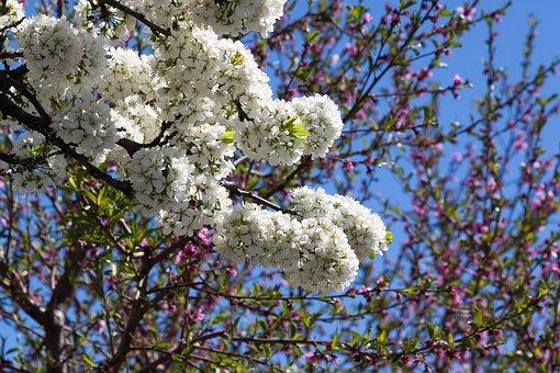 Mirabelle, Blossom, Bloom, Bloom, Flowers, Spring, Lenz