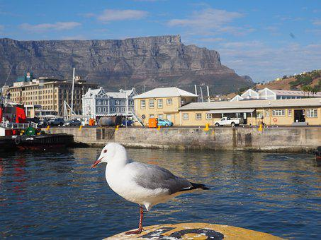 South Africa, Cape Town, Seagull, Table Mountain, Port