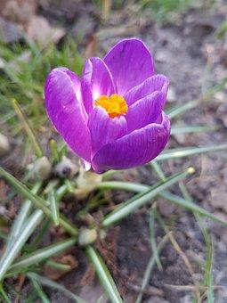Flowers, Spring, Crocus