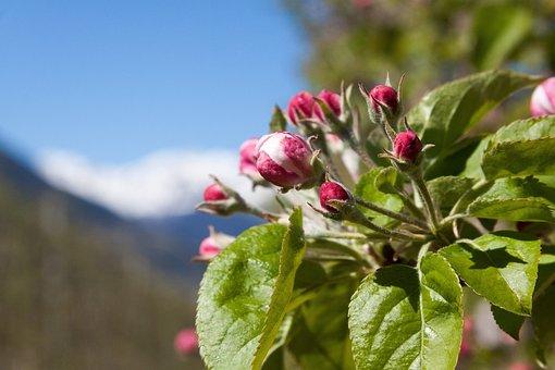 Apple Blossom, Bud, Trellis, Bloom, Flowers, Spring