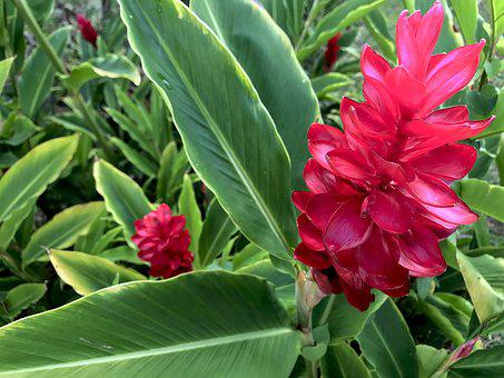 Hawaii, Torch, Ginger, Red, Plant