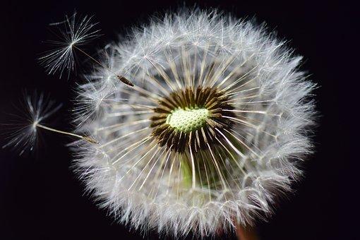 Dandelion, Seeds, Flower, Nature, Close, Macro